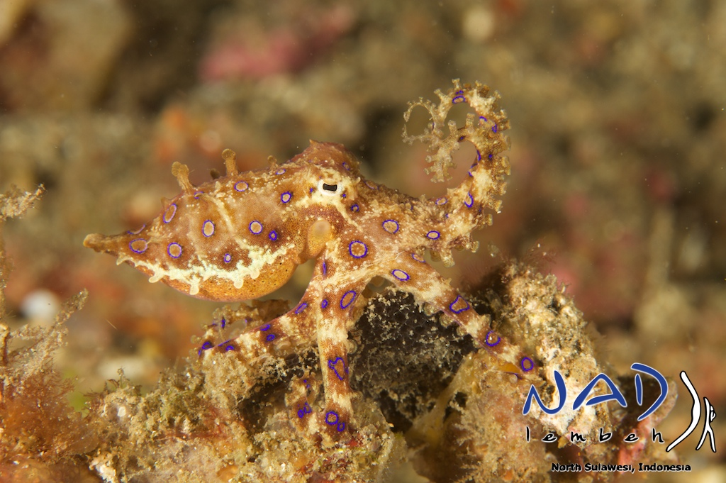 blue ringed octopus nadlembeh
