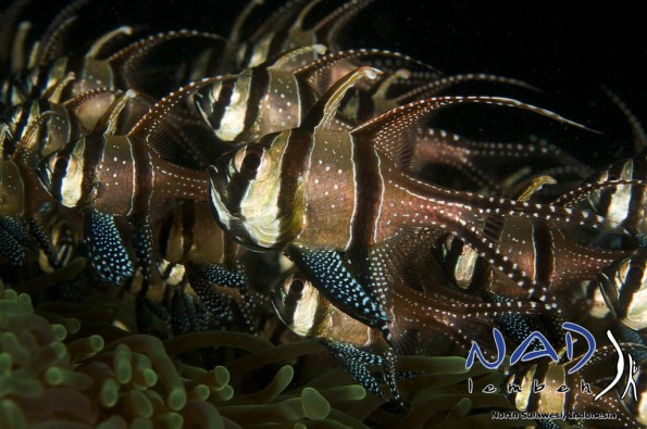 Banggai Cardinalfish in Lembeh