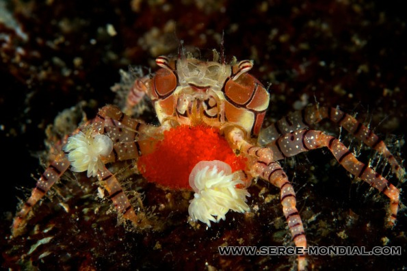 Boxer Crab with Eggs in Lembeh