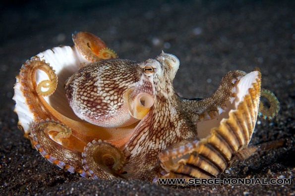 Coconut Octopus in Lembeh Strait