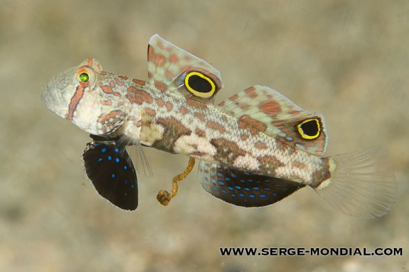 Twin Spot Goby poops