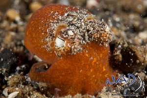 Orange Bobtail Squid in Sarena Besar / Lembeh Strait
