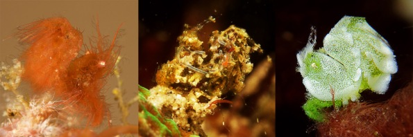 3 different phycocaris shrimps in Lembeh Strait