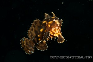 Sargassum Frogfish free swimming