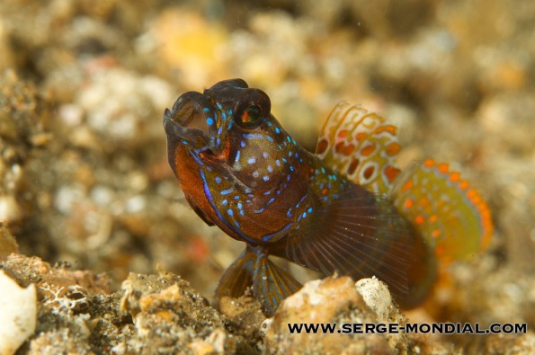 Colourful Yawning Goby in Lembeh
