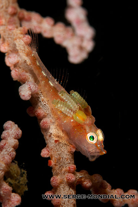Goby with 3 parasitic copepods yawning