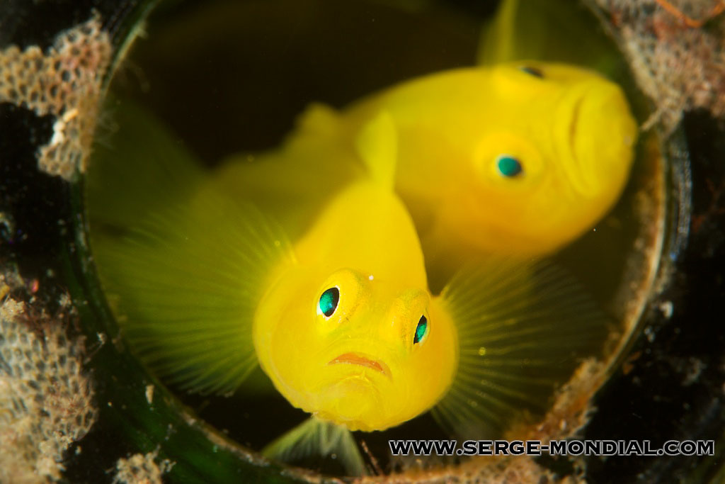 Creature feature yellow pygmy goby nad lembeh for Yellow tropical fish