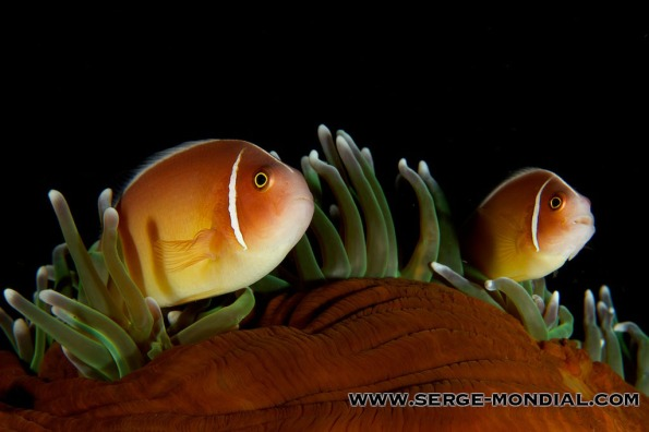A Pair of Anemone Fish