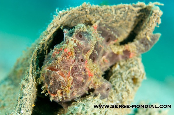 One of the 25 Frogfishes seen by Markus