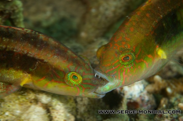 Two Spot Wrasses fighting