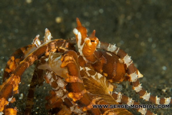 Wonderpus mating in Lembeh