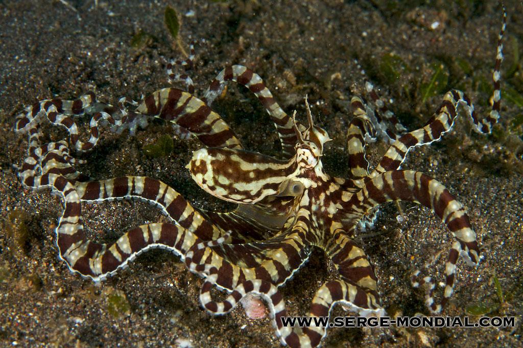 Mimic Octopus Flounder The Mimic Octopus
