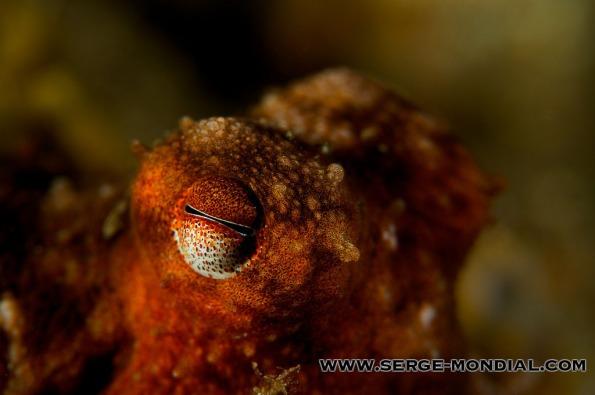 Octopus Luteus