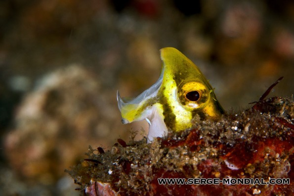 Yawning Fangblenny in Lembeh