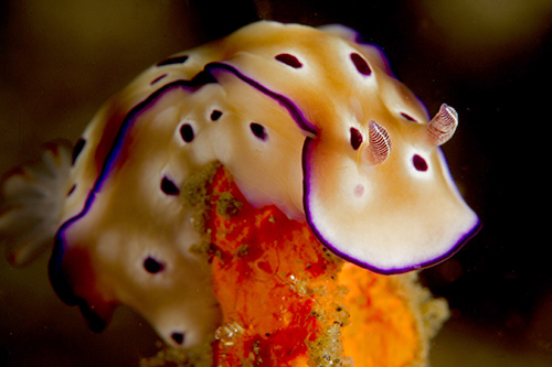 Colorful Risbeckia nudibranch