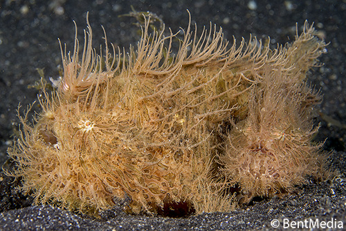 Loving pair of hairy frogfish
