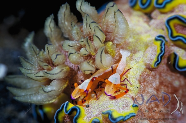 commensal shrimp on a ceratosoma nudibranch in lembeh
