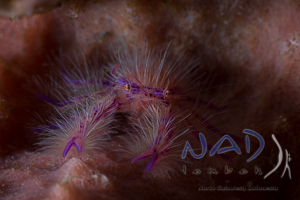 Hairy Squat Lobster in Lembeh