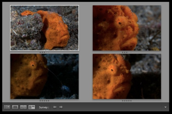 Bracketed Frogfish