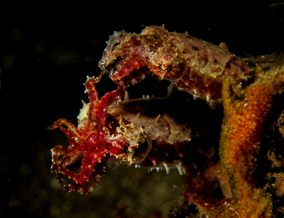 Winner Compact Category, Lembeh Shootout