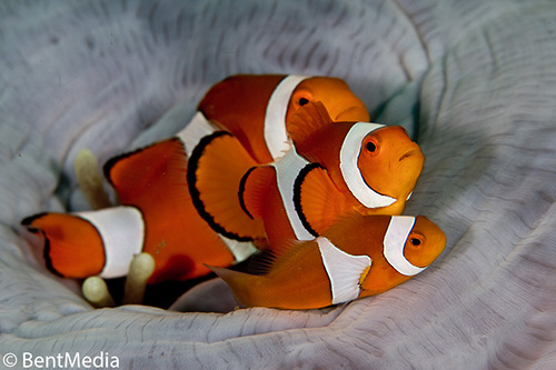 False clown anemone fish