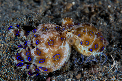 'Pregnant' Blue Ring Octopus carrying Eggs