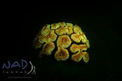 underwater flourescence with nightsea filters in Lembeh