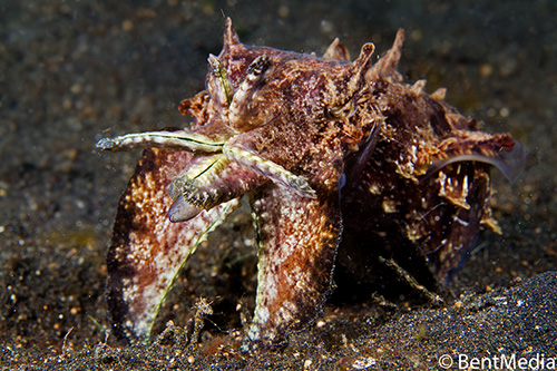 A surviving flamboyant cuttlefish, that probably was out of luck mating in September