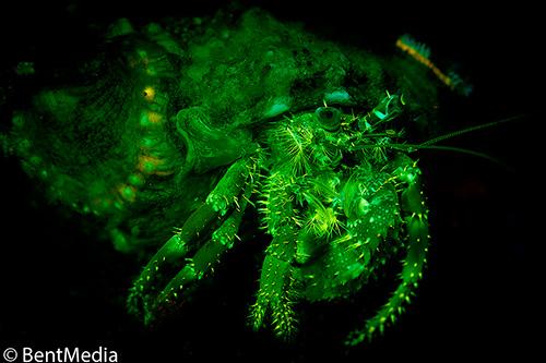 Fluorescent hermitcrab