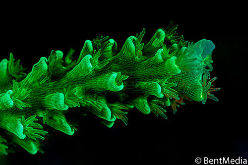 Fluorescent hard coral arm