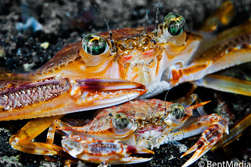 Large male crab guarding female crab against other males