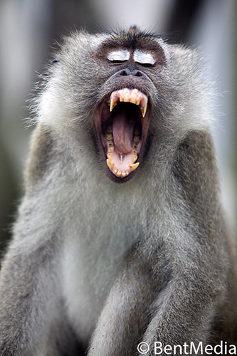 Male macaque with teeth adapted to fight other males over harem rights