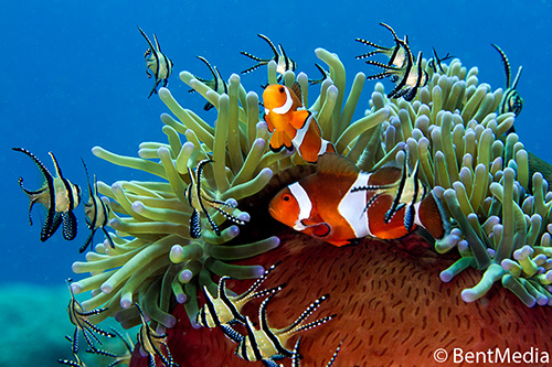 Large female and small male false clown anemone fish