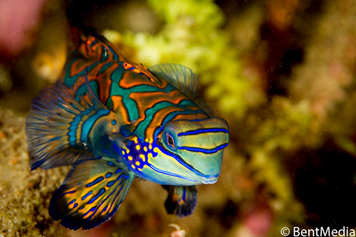 Male mandarinfish about to be sexualy selected