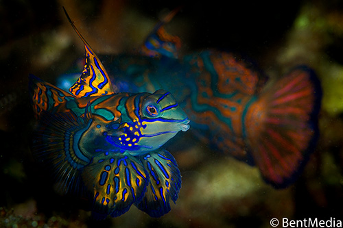 Fighting mandarin fish males