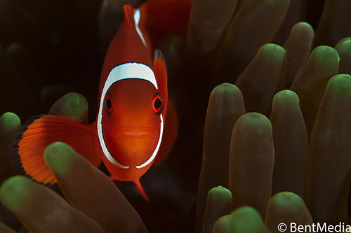 This subdominant spine cheek anemone fish is still male, and will continue as male until its larger partner dies.