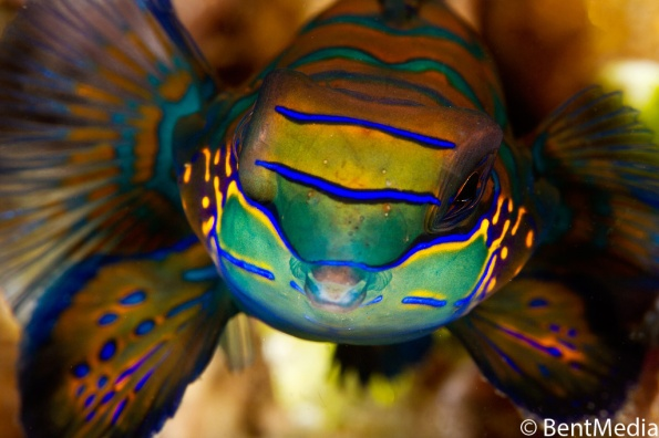 Male mandarin fish arriving