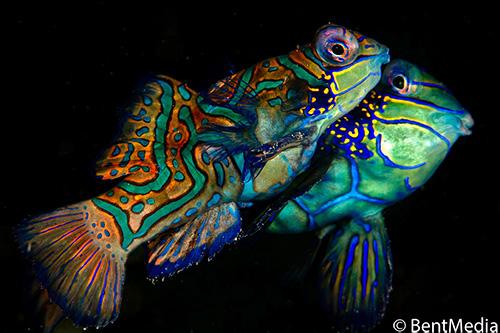 Mandarin fish rising