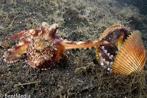 Mating coconut octopus in lembeh