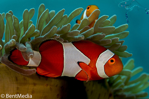 Large female false clown anemone fish with small male