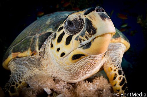 The sex of hawksbill sea turtles is determined by the temperature during egg development